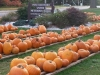 That's a lot of pumpkins!